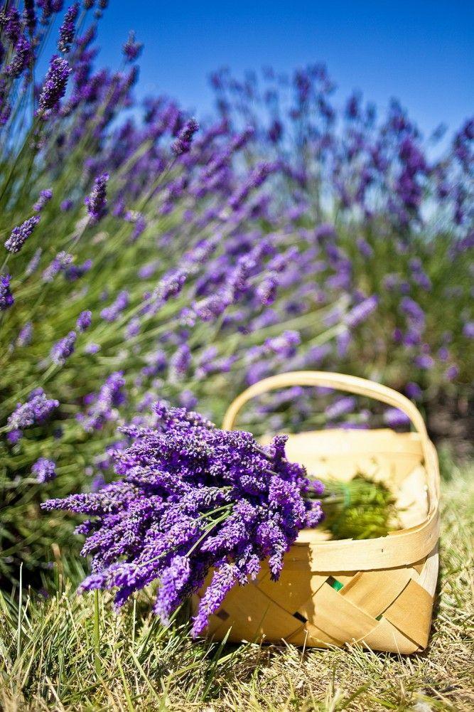 Раскраски днем, открытки цветов лаванды