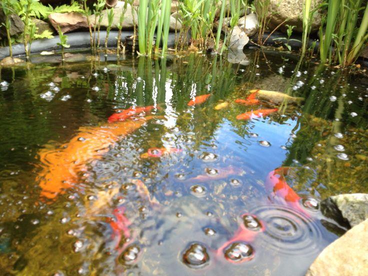Vissen in de vijver