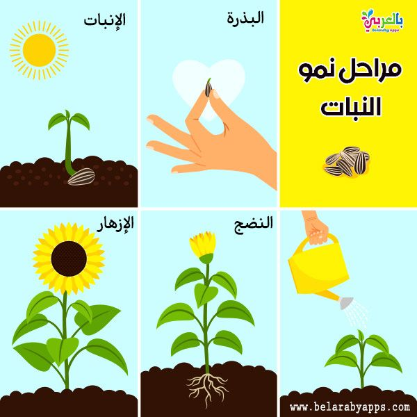 Plant Life Cycle Diagram For Kids Science Posters بالعربي نتعلم Plant Life Cycle Plant Life Life Cycles