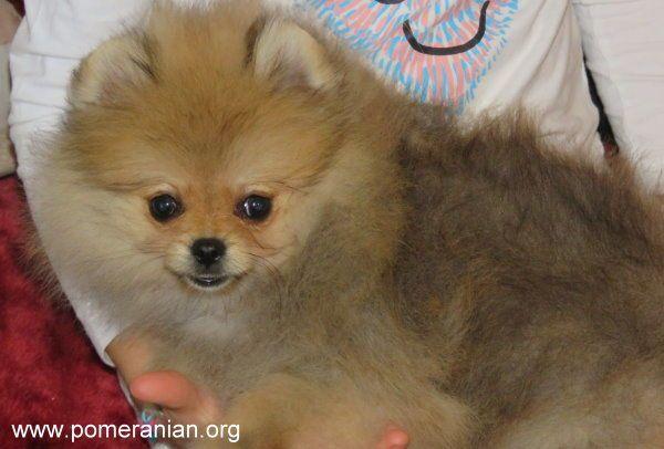 Orange Pomeranian puppy | Pictures | Pomeranian colors