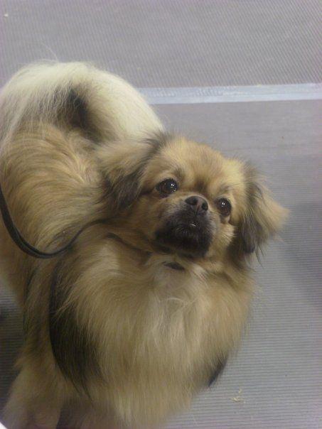 33 Best Jasper Tibetan Spaniel Pomeranian Mix All Time Awesome Dogs Images On Pinterest