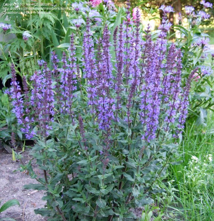 Violet Sage, Ornamental Meadow Sage, Balkan Clary, Perennial Woodland Sage 'Blue Queen'  Salvia x sylvestris