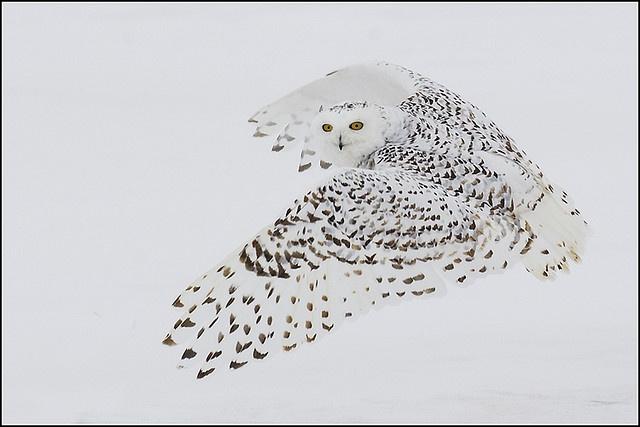 Snowy owl, by Earl Reinink