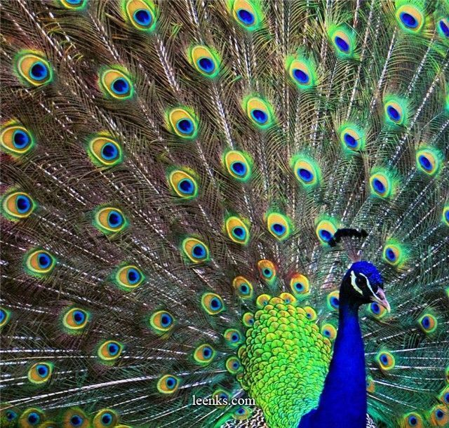 peacock: Peacock Feathers, Peacock Birds, Blue Green, Wedding Colors, Colors Schemes, Pretty Peacock, Childhood, Peacock Colors, Peacock Preen