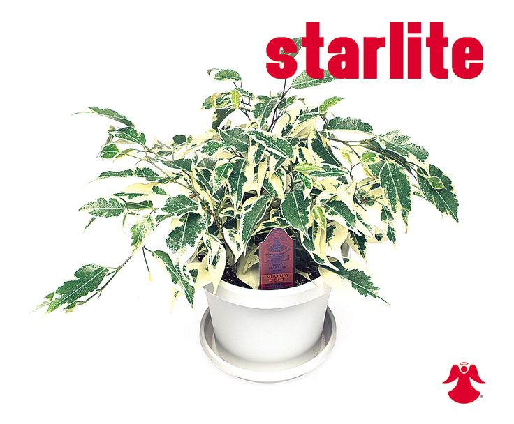 Ficus Starlite. Ficus Benjamina is the backbone of most house ficus varieties. In nature this graceful tropical tree of dense growth, forming aerial roots, and with branches of somewhat pendant habit originates from India, Southeast Asia and Australia.