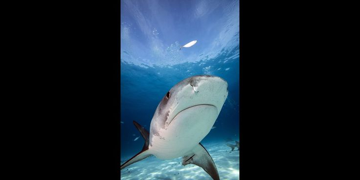 Dans la gueule du requin tigre