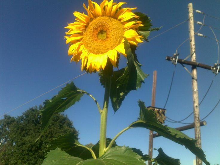 My tall sunflower