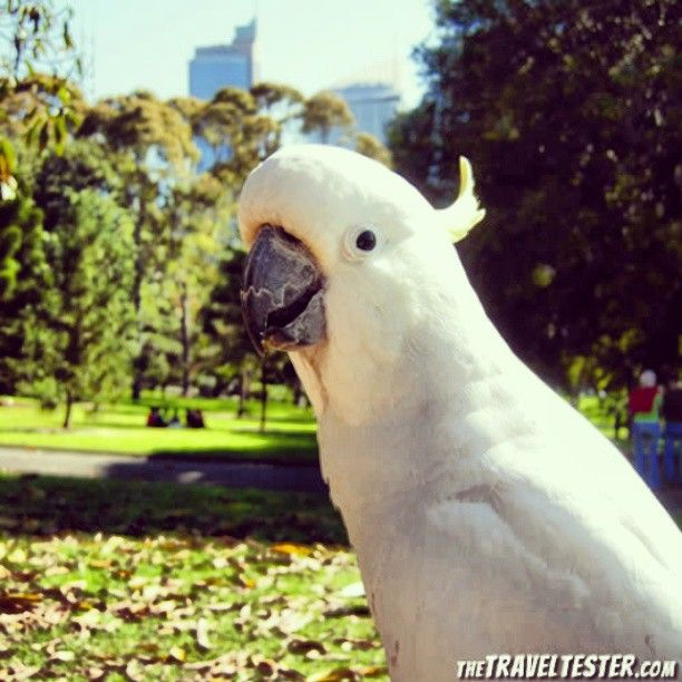 Cockatoo in Sydney, Australia   The Travel Tester   www.thetraveltester.com