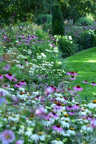 Echinacea or cone flower border