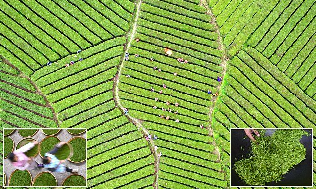 A collection of stunning pictures have emerged showing how tea leaves are harvested and processed across China as the tea-picking season begins.