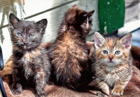 Three tortie kittens - one facing the wrong way