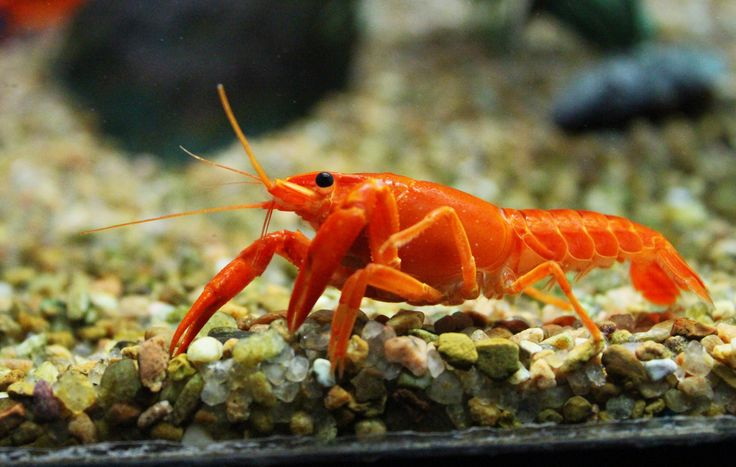 Freshwater lobsters can make a great addition to many (but not all) community aquariums. Learn more about our quirky little friend, the freshwater lobster.
