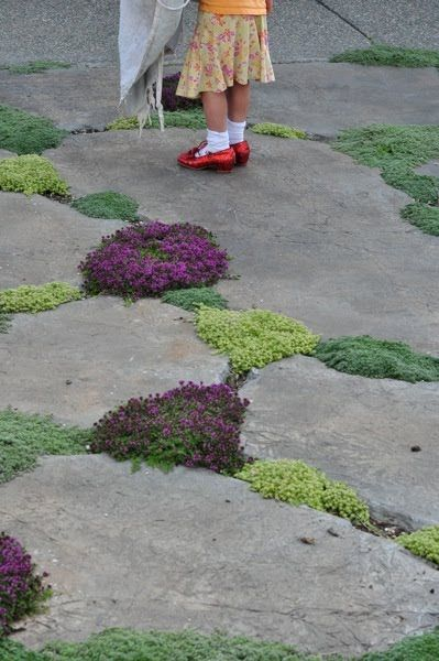 Creeping thyme & wooly thyme between stones in a garden path. Beautiful and fragrant. Also absolutely love the little girl's ruby slippers!