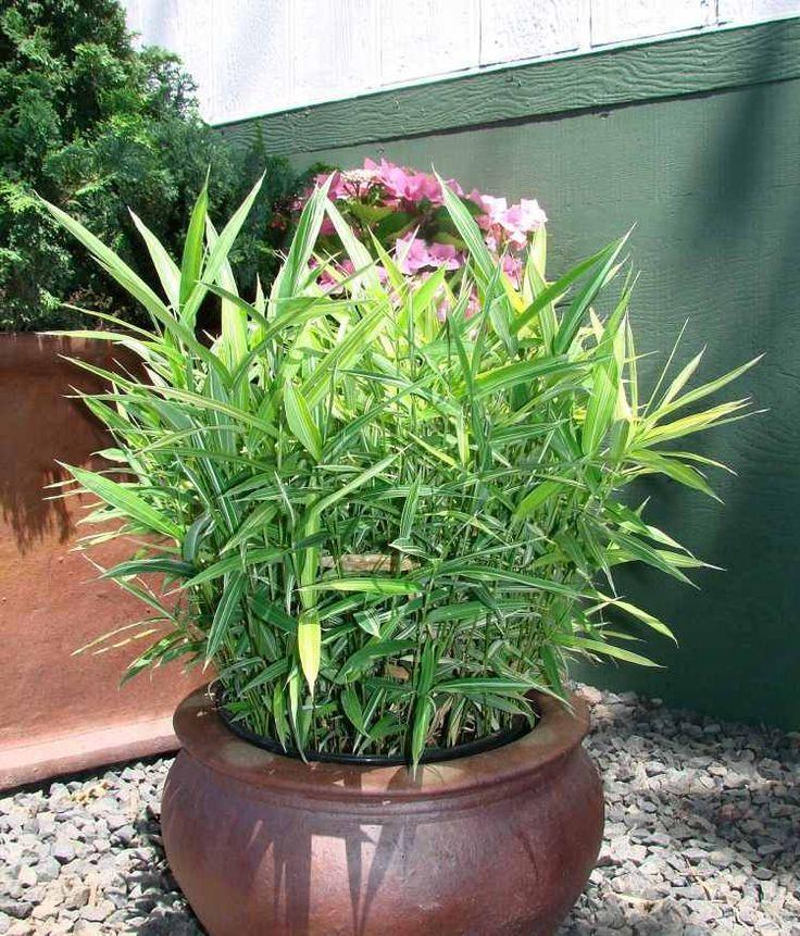 bambou en pot de petite taille sur la terrasse - Bambou Color