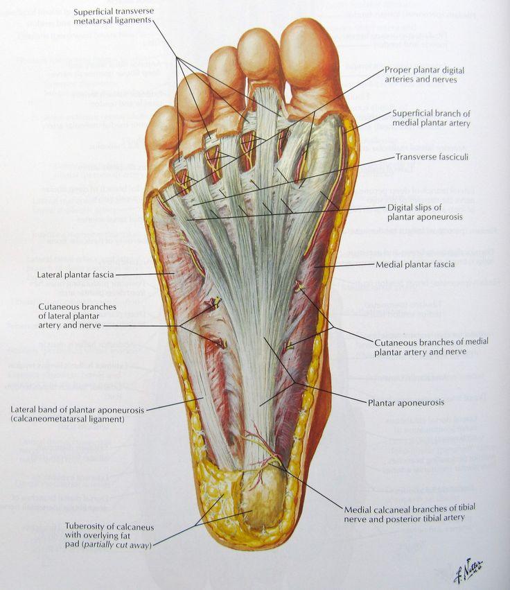 Foot massage anatomy