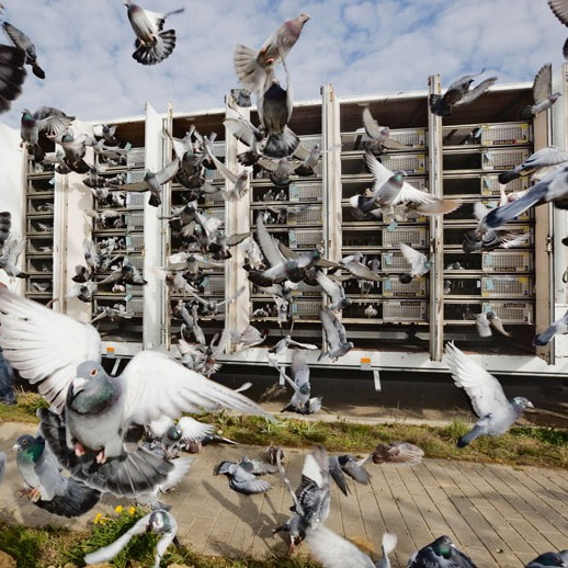 Release of Racing Pigeons from transport trucks at start of race. « I Love Belgium