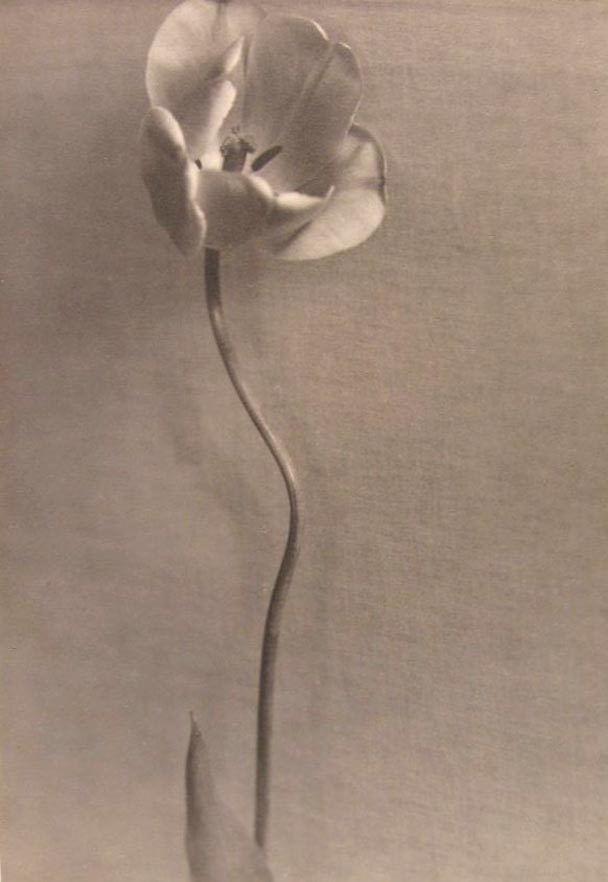 Ella McBride Portrait of a Tulip, circa 1924