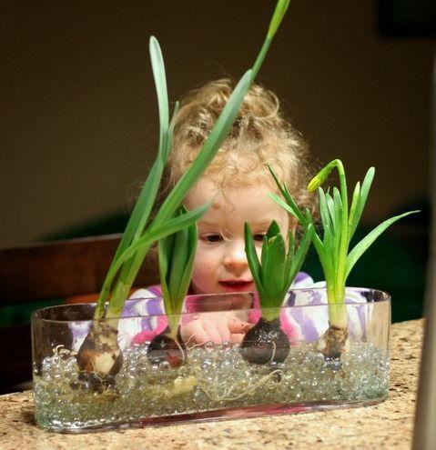 球根の水耕栽培