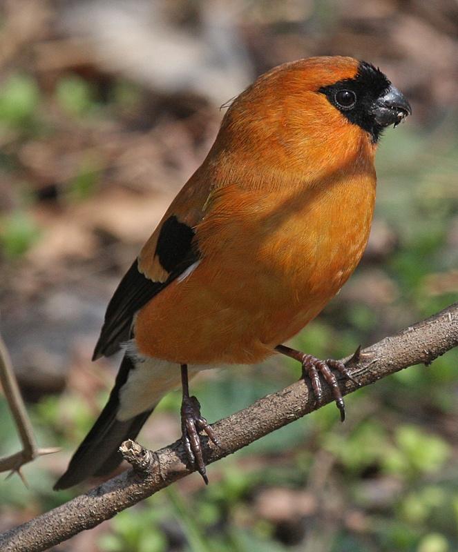 Orange Bullfinch  (Pyrrhula aurantiaca)