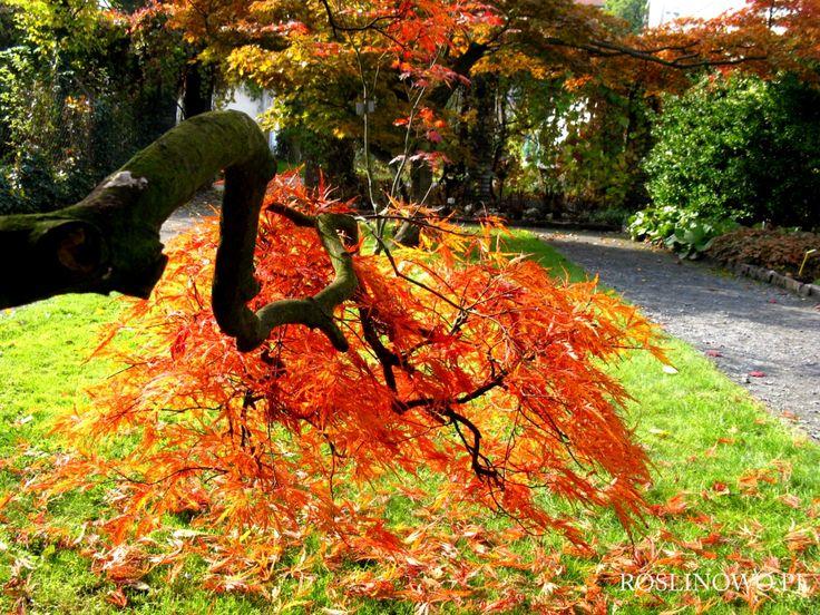 klon palmowy jesienią - autumn maple (acer)  palm