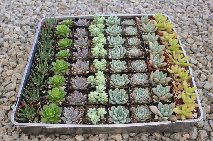 "2"" Wedding Succulents bulk wholesale wedding Favor gifts at the succulent source - 1"