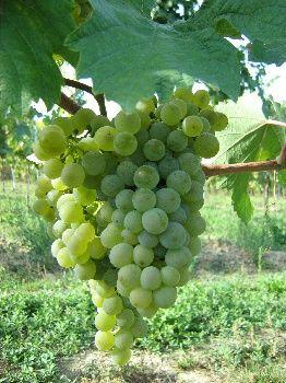 Ein schöner Speisenbegleiter aus dem Weinviertel. Sauvignon Blanc Schablingerberg, 2012, Greilinger - http://www.dieweinpresse.at/sauvignon-blanc-schablingerberg-2012-greilinger/