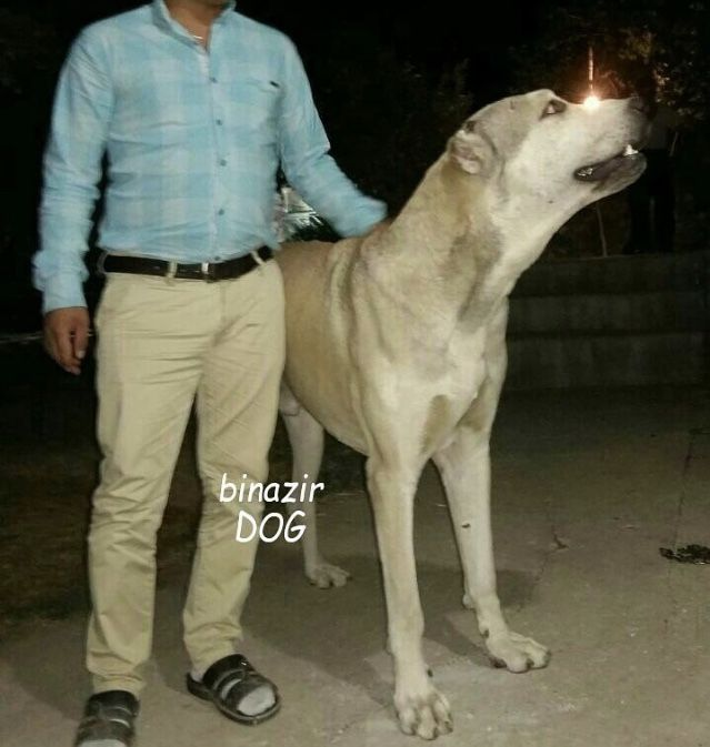 Persian Mastiff-11