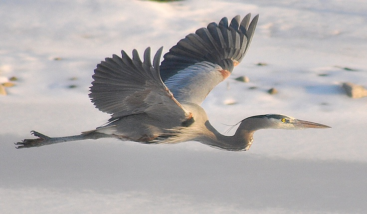 Blue Heron flying over an icy pond