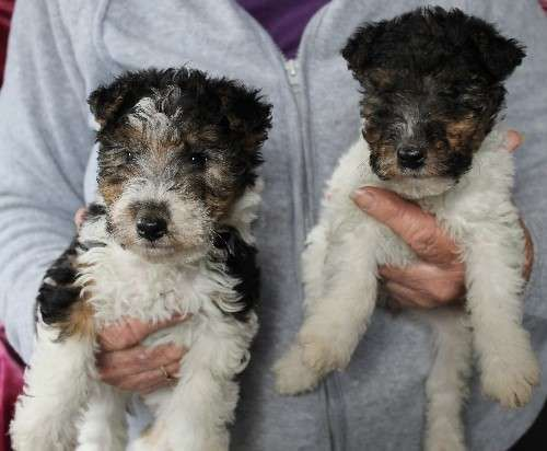 8 best Fox Terrier (Wire) puppies images on Pinterest | Dog breeds, Species of dogs and Terrier ...