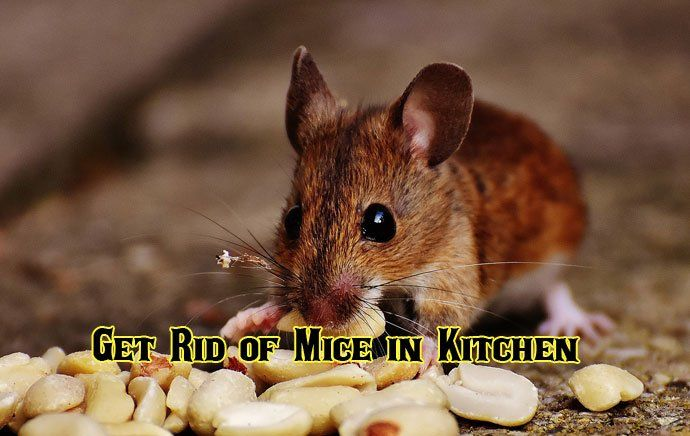 10 Best Way To Get Rid Of Mice In Kitchen Natural And Effective
