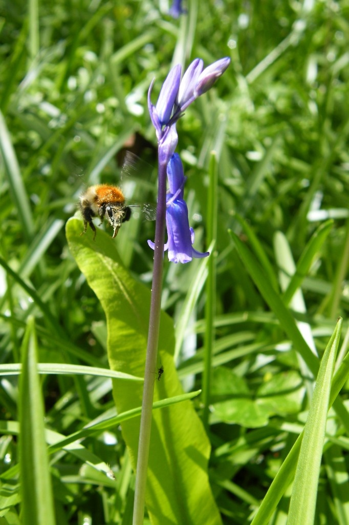 Bee buzzing beside a bluebell in the wonderful woods near Killarney in Co. Kerry