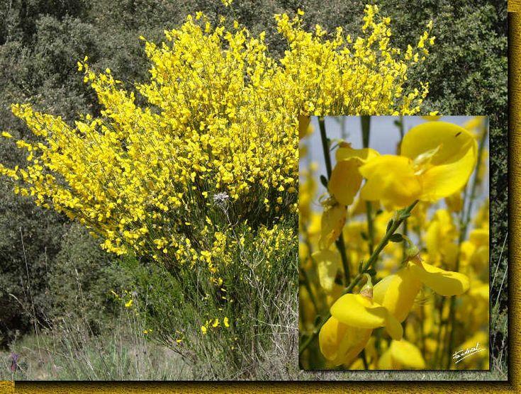 Retama sphaerocarpa retama com n rboles y arbustos for Lista de arboles de hoja caduca