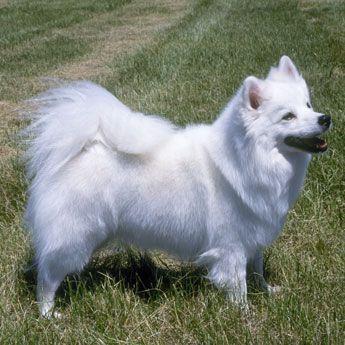 American Eskimo Dog - Small Dog Breed Profile