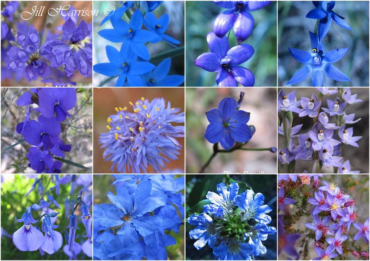 Wonderful collage of BLUE Western Australian wildflowers