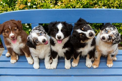 All those aussie pups!! Second from the right looks like my Molly as a puppy! <3
