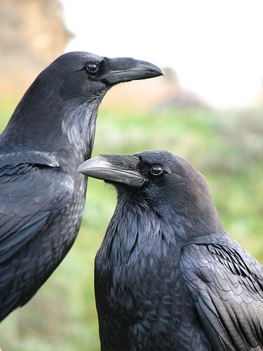 I'm never sure whether I am seeing ravens or crows