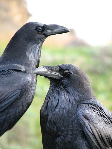 Mates (ravens) by gardens4harmony, via Flickr at Point Reyes, California