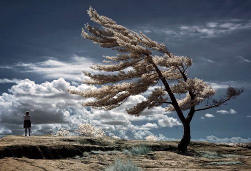 Lone pine tree in Killbear Provincial Park in infrared