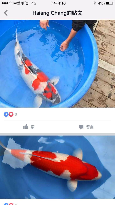 Goldfish pond species decor references -  Koi Koipond Fish Carp Koi Carpfish Pondsfresh Watergoldfishcousins Animals