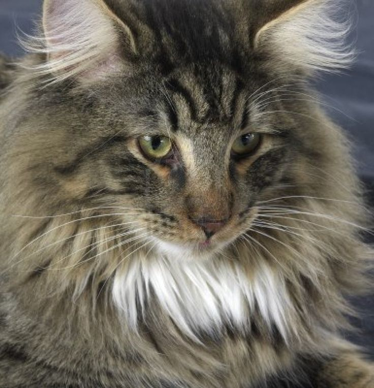 Norwegian Forest Cat  -- kinda what our Frazer looked like