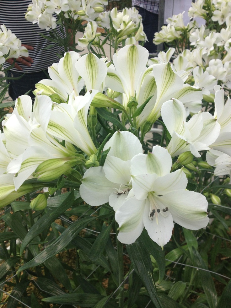Witte Alstroemeria / White Alstroemeria