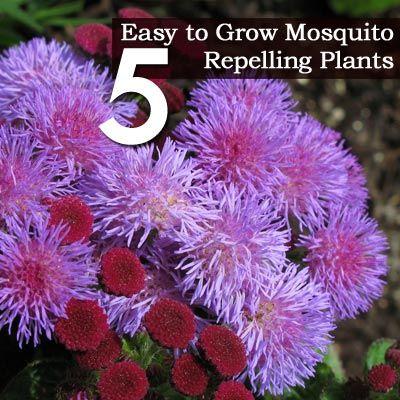 5 Easy to Grow Mosquito Repelling Pla■Citronella  ■Horsemint  ■Marigolds  ■Ageratum  ■Catnip