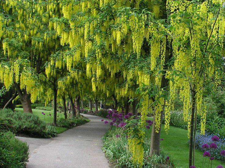Ornamental trees golden chain tree laburnum alpinum for Flowering ornamental trees zone 5