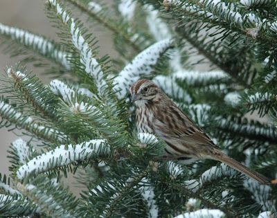 Here and There: Day 65 - 6th March 2017 - Song Sparrow, Junco and ...