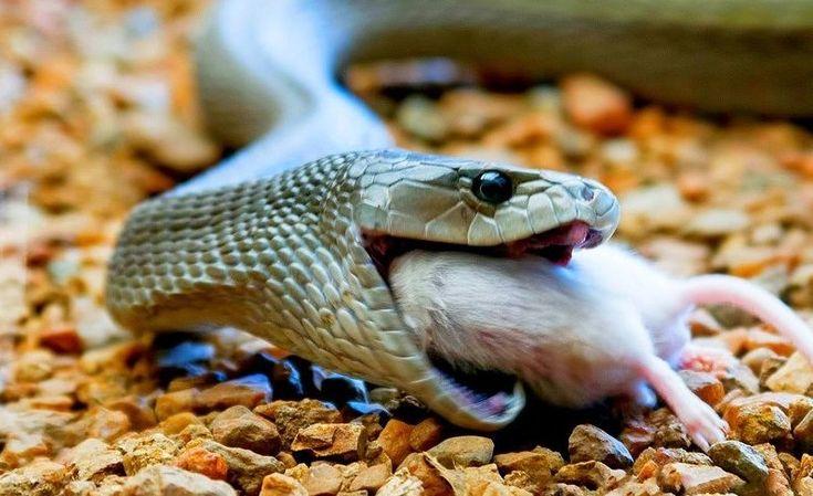 Черная мамба (фото): самая страшная и ядовитая змея Смотри больше http://kot-pes.com/chernaya-mamba-foto/