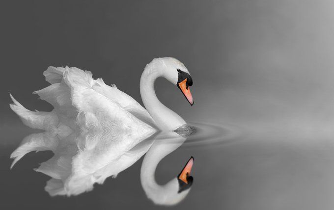 Swan meaning swan symbolism