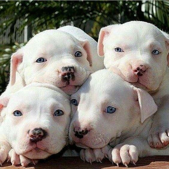 Look at these happy, loving Pit Bulls! #pitbullpuppies ...