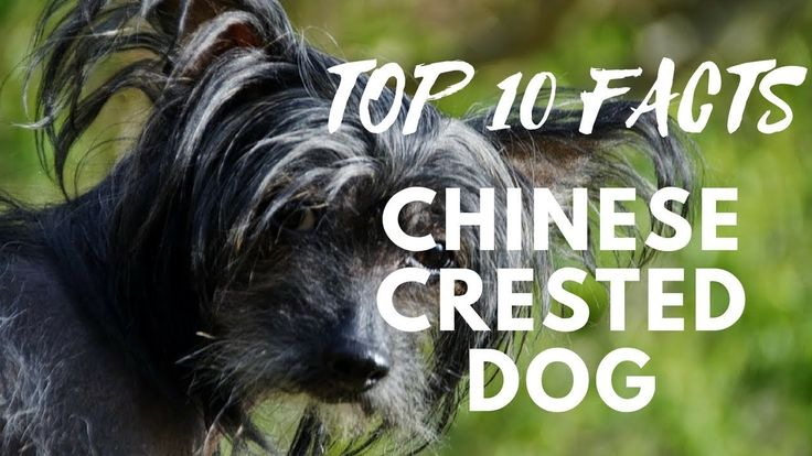 Chinese Crested Dog - Top 10 Interesting Facts
