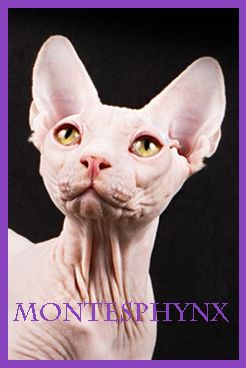 EVEREST NUESTROS GATOS-MACHOS SPHYNX-MONTESPHYNX CATTERY