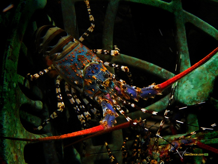 Lobster Underwater 8 best images a...